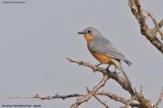 Empidornis_semipartitus005.Murchison_Falls_N.P.Uganda.PJ.15.02.2011