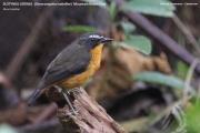 212.118.Oreocossypha_isabellae0001.Mt.Cameroon.Kamerun.22.02.2012
