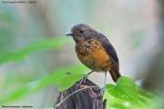 Oreocossyphaisabellae002.Juvenile.Mt.Cameroon.22.02.2012