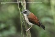 212.122.Chamaetylas_poliocephala_compsonota001.Mt.Cameroon.22.02.2012