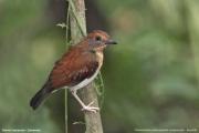 Chamaetylas_poliocephala_compsonota002.Juv.Mt.Cameroon.22.02.2012