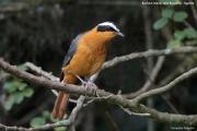Cossypha_heuglini005.Bushara_Is.Lake_Bunyonyi.Uganda.3.03.2011