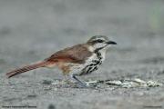 Cichladusa_guttata002.Tarangire_N.P.Tanzania.25.03.2013