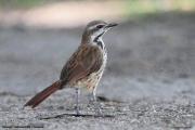 Cichladusa_guttata004.Tarangire_N.P.Tanzania.25.03.2013