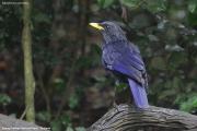 Myophonus_caeruleus004.Baan_Song_Nok.Kaeng_Krachan_N.P.Thailand.MJ.13.11.2012