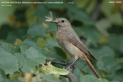 212.237.Phoenicurus_phoenicurus002.PJ.Female.Zalesie.9.07.2006