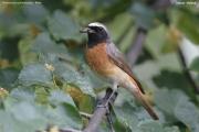 Phoenicurus_phoenicurus009.PJ.Male.Zalesie.9.07.2006