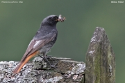 Phoenicurus_ochruros015.Male.PJ.Oborka.11.07.2011
