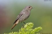 Phoenicurus_ochruros007.Female.MJ.Jastrzebia_Gora.6.06.2009