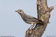 Monticola_saxatilis002.Female.Buffalo_Springs_N.R.Kenia.30.11.2014
