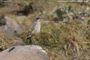 Pinarochroa_sordida004.Sanetti_Plateau.Bale_Mt.Etiopia.AJ.15.11.2009