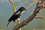 212.275.Myrmecocichla_nigra001.Murchison_Falls_N.P.Uganda.18.11.2012