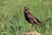 Myrmecocichla_aethiops002.Ngorongoro.Tanzania.21.03.2013