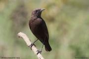 Myrmecocichla_aethiops006.Lake_Nakuru_N.P.Kenia.6.12.2014