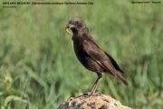 212.276.Myrmecocichla_aethiops001.Ngorongoro.Tanzania.21.03.2013