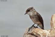 Muscicapa_aquatica002.Lake_Albert.Uganda.23.11.2012