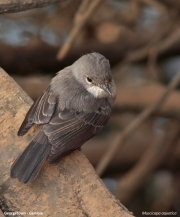 Muscicapa_aquatica004.Georgetown.Gambia.24.01.2008