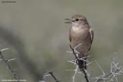 Agricola_infuscatus003.Etosha_N.P.Namibia.20.02.2014