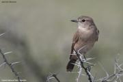 Agricola_infuscatus002.Etosha_N.P.Namibia.20.02.2014
