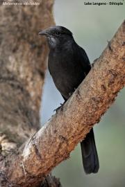 Melaenornis_edolioides002.Langano.Etiopia.21.11.2009