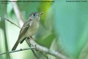 214.026.Muscicapa_muttui001.Sinharaja_Forest_Reserve.Sri_Lanka.26.11.2018