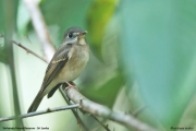Muscicapa_muttui002.Sinharaja_Forest_Reserve.Sri_Lanka.26.11.2018