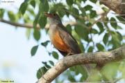 Turdus-rufiventris002.Pantanal.Brazylia.9.11.2013