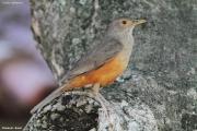 Turdus-rufiventris003.Pantanal.Brazylia.14.11.2013