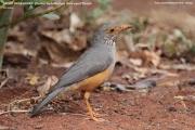 215.105.Turdus-tephronotus001.Sagala-Lodge.Tsavo-East-N.P.Kenia_.PJ_.23.09.2011