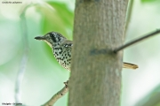 Geokichla_spiloptera002.Kitulgala.Sri_Lanka.7.12.2018