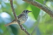 Geokichla_spiloptera004.Kitulgala.Sri_Lanka.8.12.2018