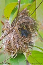 Anabathmis_reichenbachii020.Gniazdo.Limbe.Kamerun.23.02.2012