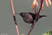 Chalcomitra_amethystina003.Male.Lake_Naivasha.Kenia.PJ.10.12.2014