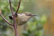 216.048.Chalcomitra_amethystina002.Female.Lake_Naivasha.Kenia.PJ.10.12.2014