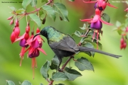 Nectarinia_kilimensis002.Naro_Moru.Kenia.PJ.30.11.2014