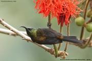 Nectarinia_kilimensis003.Buhoma.Bwindi_N.P.PJ.27.02.2011