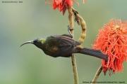 Nectarinia_kilimensis004.Buhoma.Bwindi_N.P.PJ.27.02.2011