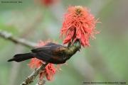 Nectarinia_kilimensis007.Buhoma.Bwindi_N.P.PJ.27.02.2011