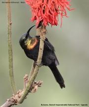 Nectarinia_kilimensis012.Buhoma.Bwindi_N.P.PJ.27.02.2011