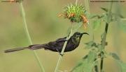 Nectarinia_kilimensis018.Ruhija.Bwindi_N.P.PJ.2.03.2011