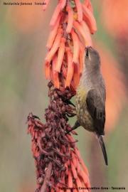 Nectarinia_famosa005.Female.Okolice_Ngorongoro.Tanzania.22.03.2013