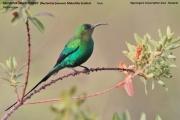 216.061.Nectarinia_famosa001.Okolice_Ngorongoro.Tanzania.22.03.2013