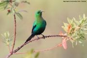 Nectarinia_famosa002.Okolice_Ngorongoro.Tanzania.22.03.2013