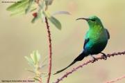 Nectarinia_famosa003.Okolice_Ngorongoro.Tanzania.22.03.2013