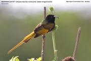 216.063.Drepanorhynchus_reichenowi001.Okolice_Ngorongoro.Tanzania.22.03.2013