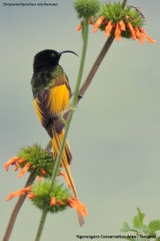 Drepanorhynchus_reichenowi002.Okolice_Ngorongoro.Tanzania.22.03.2013
