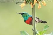 216.064.Cinnyris_chloropygius001.Kibale_Forest_N.P.PJ.20.02.2011