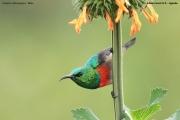 Cinnyris_chloropygius002.Kibale_Forest_N.P.PJ.20.02.2011