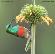 Cinnyris_chloropygius007.Kibale_Forest_N.P.PJ.20.02.2011