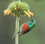 Cinnyris_chloropygius008.Kibale_Forest_N.P.PJ.20.02.2011